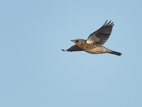 Fieldfare in flight