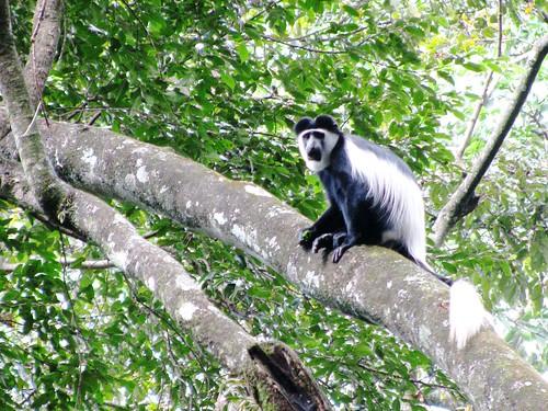 voyage africa travel white black forest monkey vacances holidays kenya urlaub afrika colobus kenia 2012 afrique kakamega blackandwhitecolobusmonkey abyssinicus kakamegaforest colobusabyssinicus img86151 isicheno