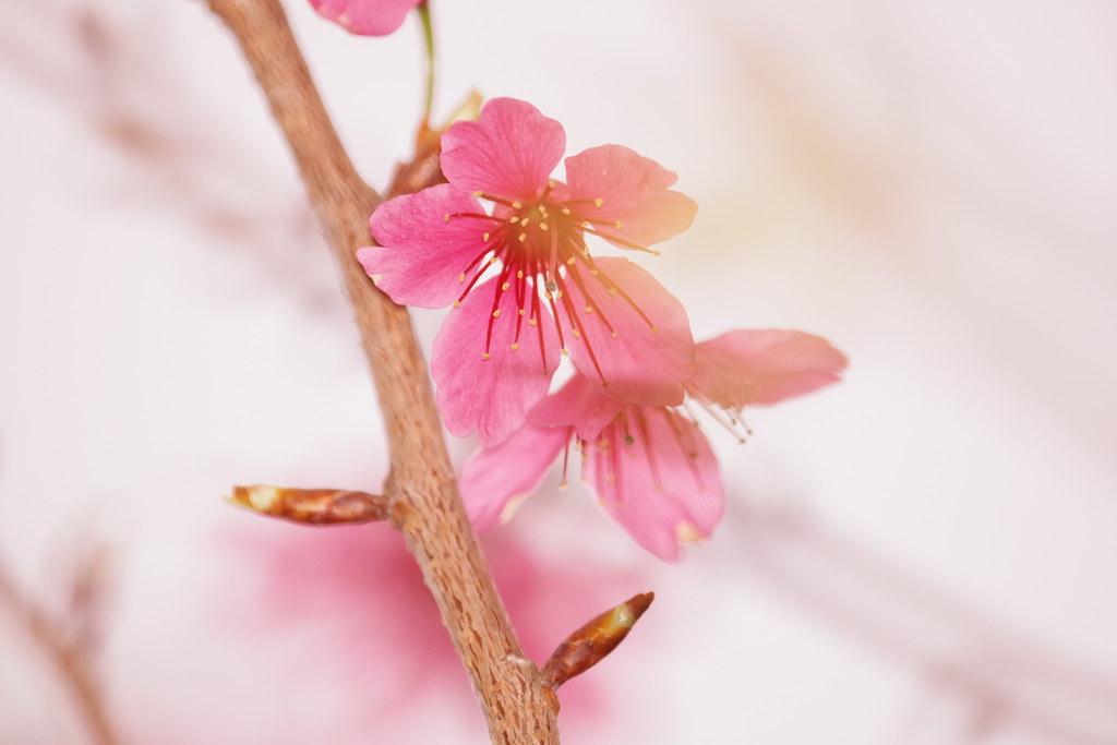 苗栗縣苑裡鎮石鎮里櫻花大道賞櫻花, 幾張美麗的櫻花照
