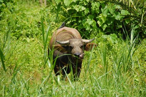 Water Buffalo Borneo