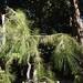 Garden Inventory: Black Pine (Pinus nigra) - 4