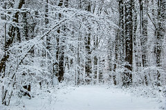 Dans les bois enneigés