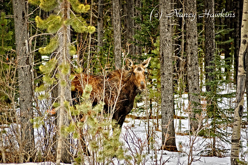 Moose on the loose! by Nancy Hawkins