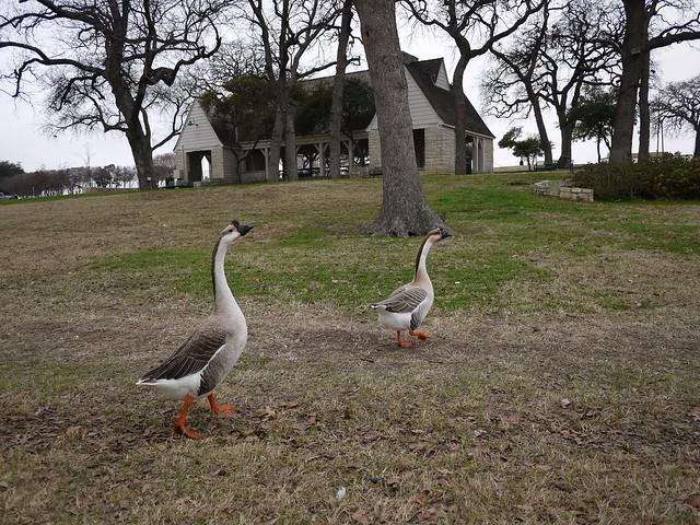PIC: Bachman Lake Park - Geese