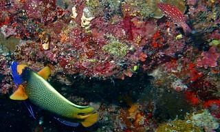 Yellow-face Angelfish (Pomacanthus xanthometopon)