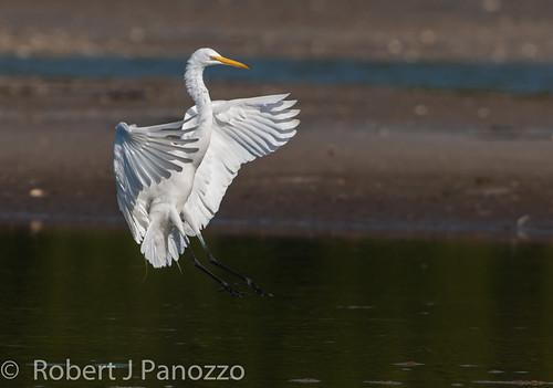 bird ngc npc sanibel sanibelisland egret greategret jndingdarlingnwr