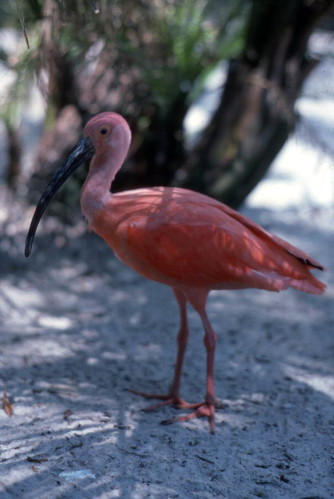 Scarlet Ibis at Sunken Gardens: St. Petersburg, Florida