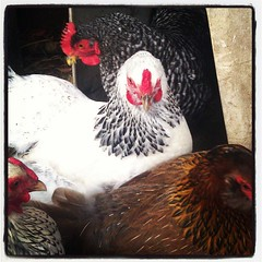 Sweet hens