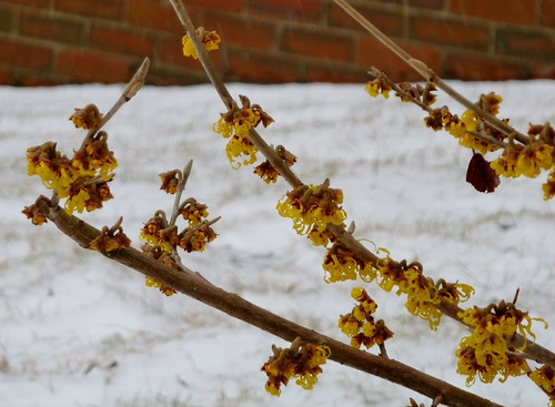 Witch hazel in March snow - March 7 / Day 66