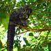 Primates Pithecia monachus_06_