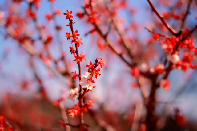 Taura plum blossom