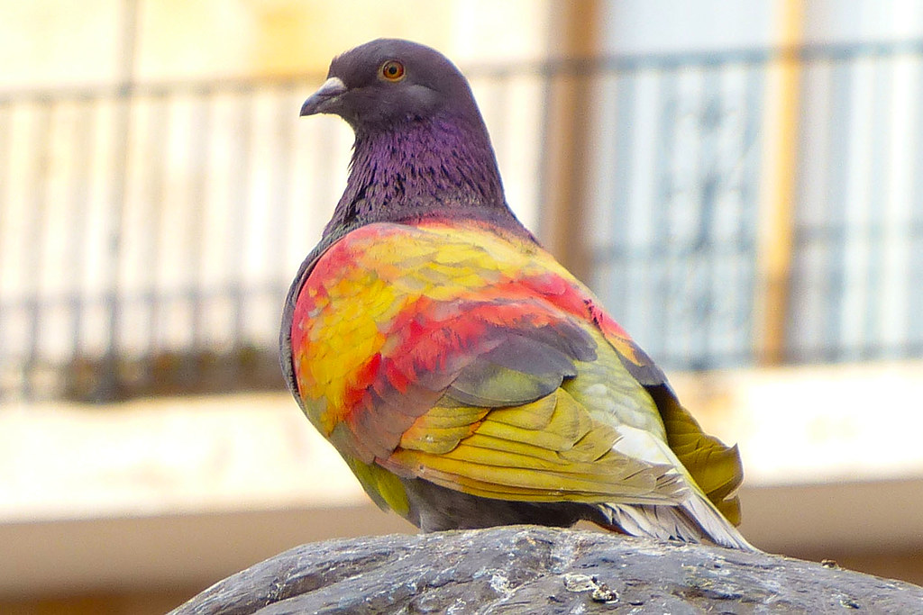 Painted Pigeon