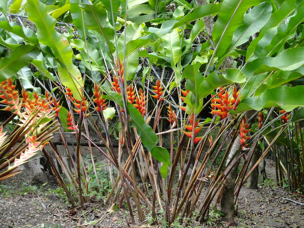 Interesting flickr photos tagged bracteas picssr for Antorchas jardin
