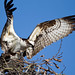 Osprey Fun by Juggler Jim