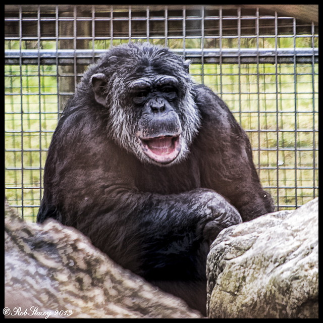 Happy Chimpanzee | www.imgkid.com - The Image Kid Has It!