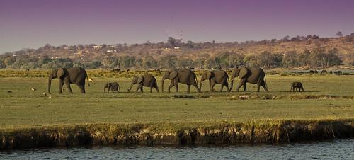 africa travel family elephant mammal safari botswana elephantfamily chobenationalpark
