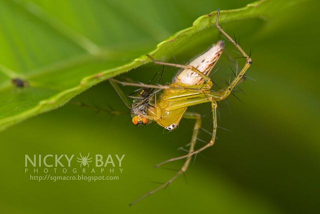 Lynx Spider (Oxyopidae) - DSC_5112