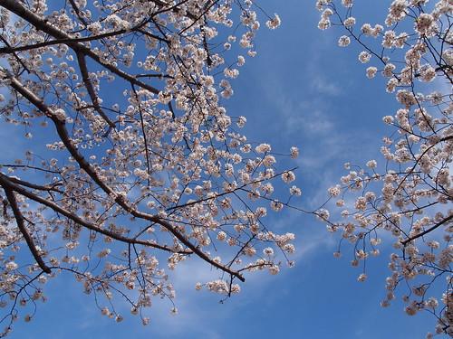 桜 2013 田園調布