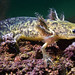 Axolotl by Alejandro Alamo
