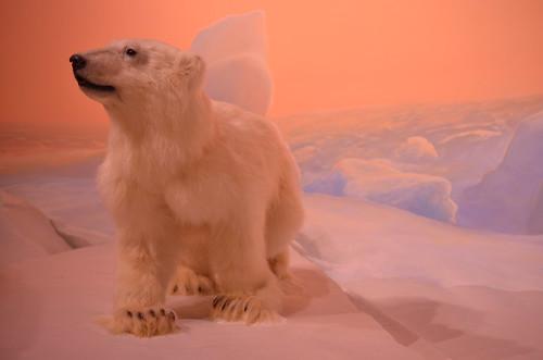 bear snow ontario canada ice cub nikon display ottawa polarbear 365 40mm museumofnature sooc museumdisplay 365project babypolarbear 086365 d7000 nikond7000 2013inphotos march272013 thereweresomanyfossilsthatmuchdeadisjustalittledepressingfelttheneedtovisitazootoobadtheresnotanawesomezoonearby