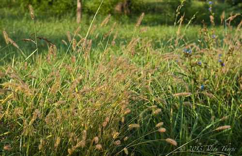 tall grass by Alida's Photos