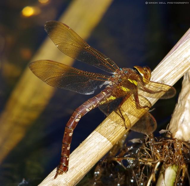 Brown hawker dragin fly