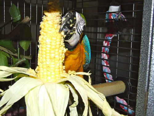 Blue and Gold Macaw eating corn