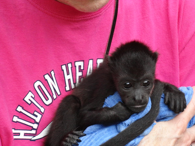 Felicia the howler monkey baby