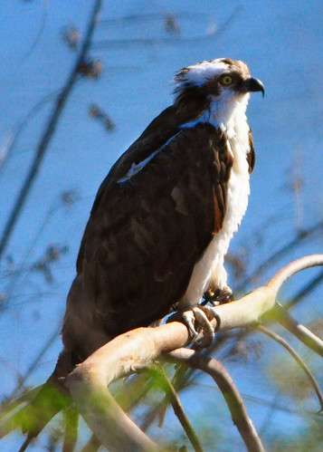 california bird nature wildlife lakeside raptor osprey birdofprey fisheagle fishhawk seahawk pandion pandionidae lakejennings