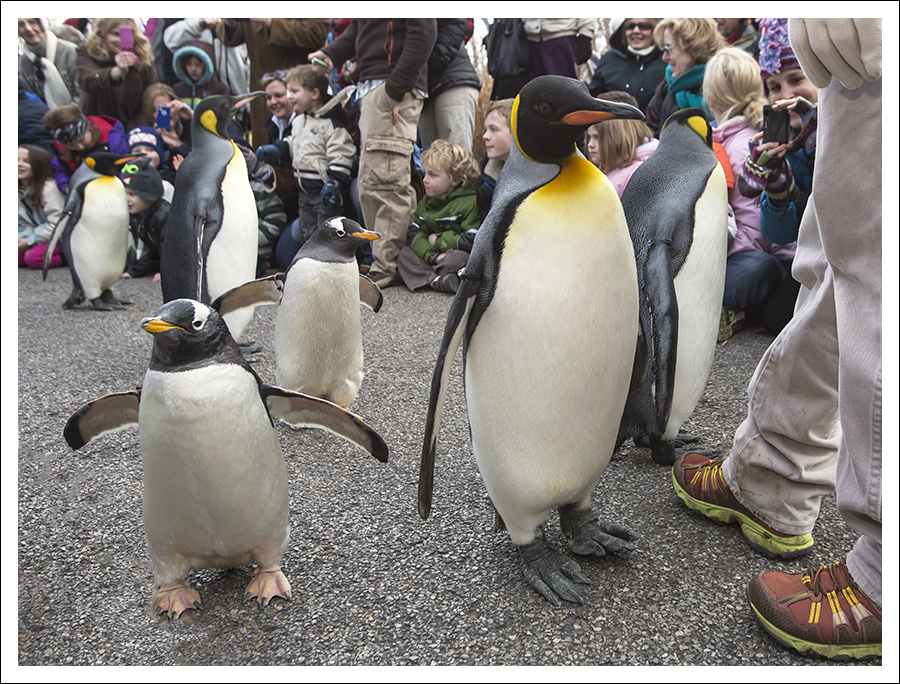 Penguin Parade 1