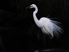 Great_Egret_Breeding_Plumage1C0A2856