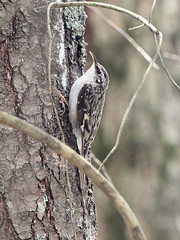 Brown Creeper; Certia americana