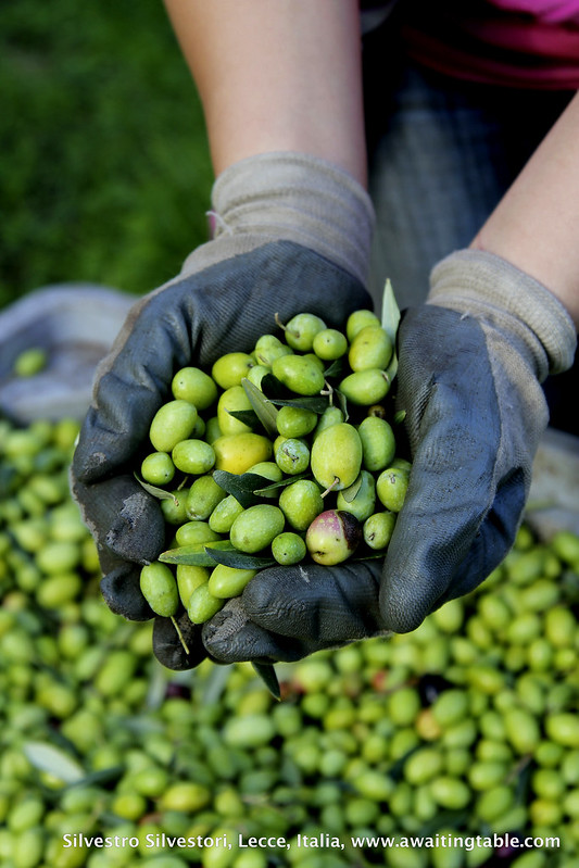 Post image for ….overheard at this year's olive harvest in the deep Salento…..