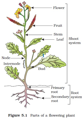 Ncert class xi biology chapter 5 morphology of flowering plants ncert class xi biology chapter 5 morphology of flowering plants ccuart Gallery