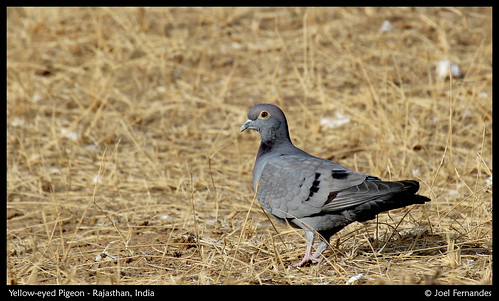 Yellow-eyed Pigeon by Joel I Fernandes