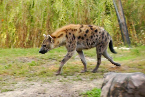 S1220003_Spotted_Hyena