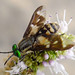 Small photo of Twin-lobed deerfly. Chrysops relictus Tabanidae