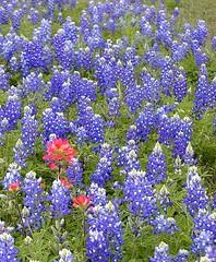 annual plant, flower, wildflower, bluebonnet,