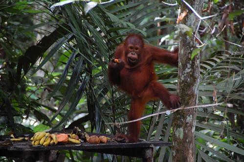 Orangutan in Sarawak