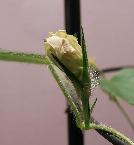 Q0224 Higo Asagao (Ipomoea nil) by Gerris2