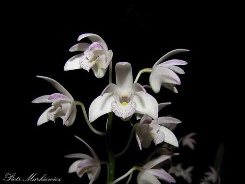 Dendrobium × delicatum by PiotrM