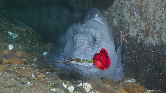 Valentine's Fish
