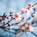 spring peach tree blossom