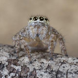 _X8A1785 Peacock spider Maratus speciosus