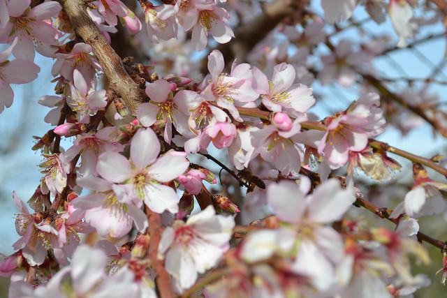 008 - Almendros en flor Interior Alicante