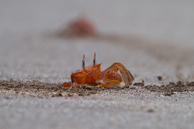 Ocypode quadrata. Islas Galápagos.