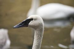 gannet(0.0), animal(1.0), suliformes(1.0), water bird(1.0), swan(1.0), wing(1.0), fauna(1.0), close-up(1.0), beak(1.0), bird(1.0), wildlife(1.0),