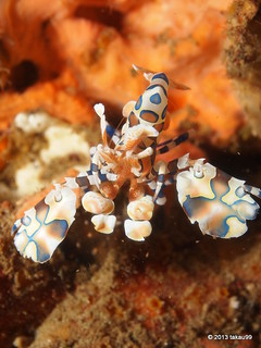 Harlequin Shrimp73