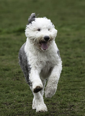 miniature poodle, dog breed, animal, dog, schnoodle, pumi, pet, lagotto romagnolo, polish lowland sheepdog, glen of imaal terrier, mammal, poodle crossbreed, old english sheepdog, wire hair fox terrier, irish soft-coated wheaten terrier, west highland white terrier, terrier,