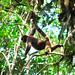 Primate Lagothrix lagotricha_07_